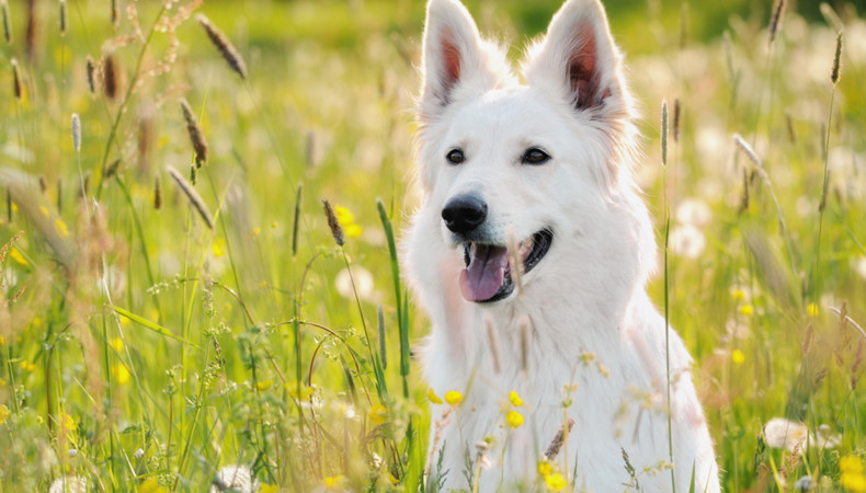 How to Deal with Common Allergies in your Dog